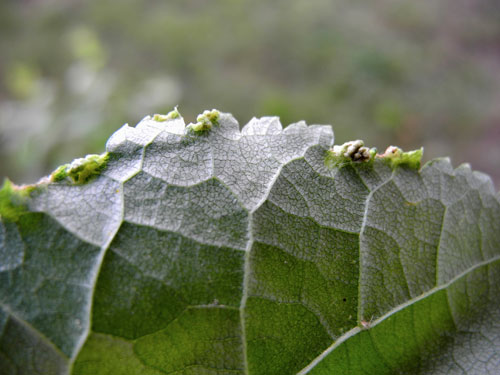 Phytoptus tetratrichus: gall on Tilia sp.