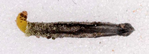 Coleophora saponariella: larva in its case