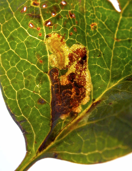 Stigmella perpygmaeella: larva in mine on Crataegus monogyna