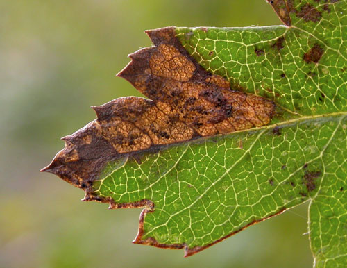 Stigmella regiella: mine on Crataegus monogyna