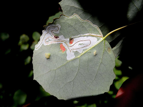 Phyllocnistis labyrinthella: mine on Populus tremula