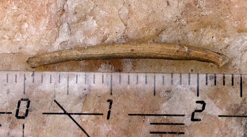 Coleophora peribenanderi: case (exceptionally long)
