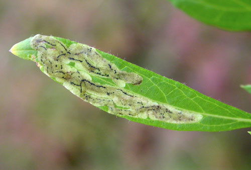 Liriomyza artemisicola: mine on Artemisia vulgaris