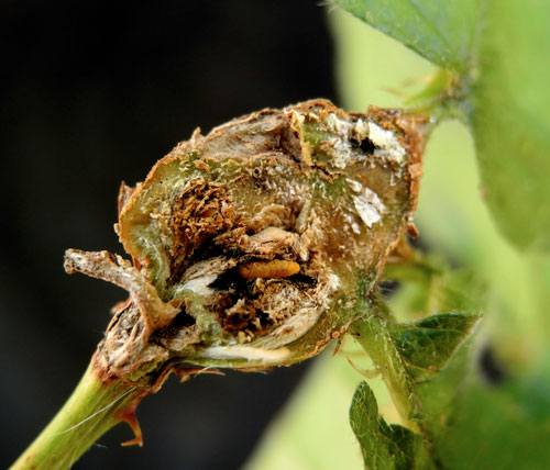 Lasioptera rubi: openend gall with older larva