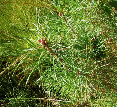 Pseudococcyx turionella: damage on Pinus sylvestris