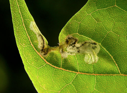 Hinatara recta: young mine on Acer platanoides