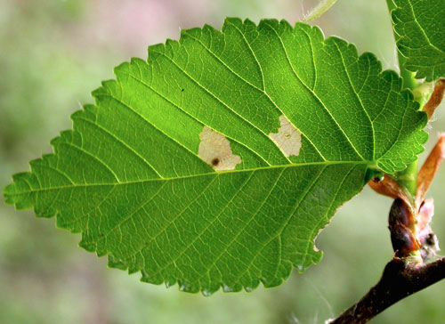 Coleophora badiipennella: mine on Ulmus minor