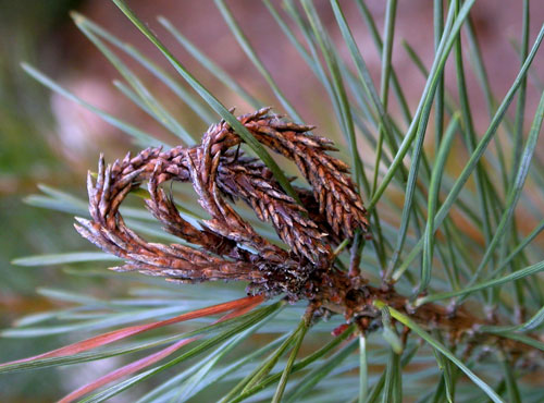 Rhyacionia buoliana: gall on Pinus sylvestris