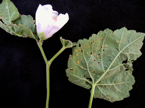 Puccinia malvacearum: galls on Althaea officinalis