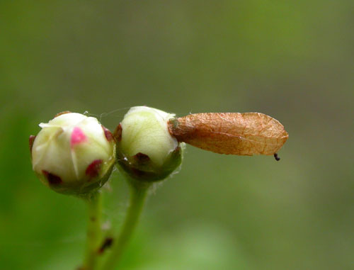 Coleophora siccifolia: youth case on Crataegus monogyna