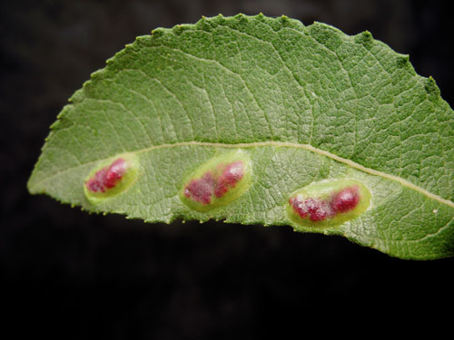 Euura bridgmanii: gall on Salix cinerea