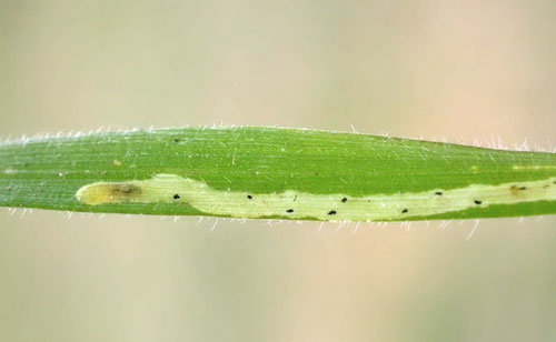 Liriomyza flaveola: larva in its mine on Bromopsis erecta