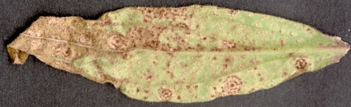 Puccinia behenis: uredinia on Silene latifola