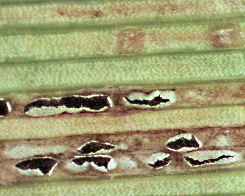 Puccinia magnusii: telia on Carex riparia