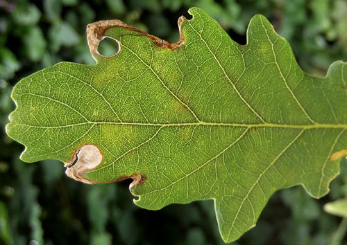 Orchestes avellanae: mine on Quercus robur