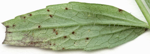 Puccinia commutata: telia on Valeriana officinalis