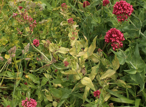 Centranthus ruber infected by Endophyllum centranthi-rubri