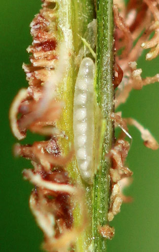 Mayetiola graminis: larvae in its gall on Poa nemoralis