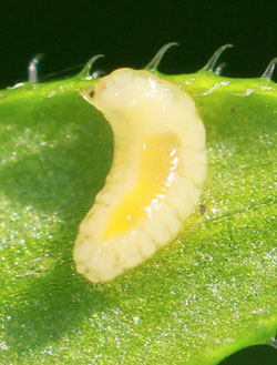 Dasineura aparines: larva