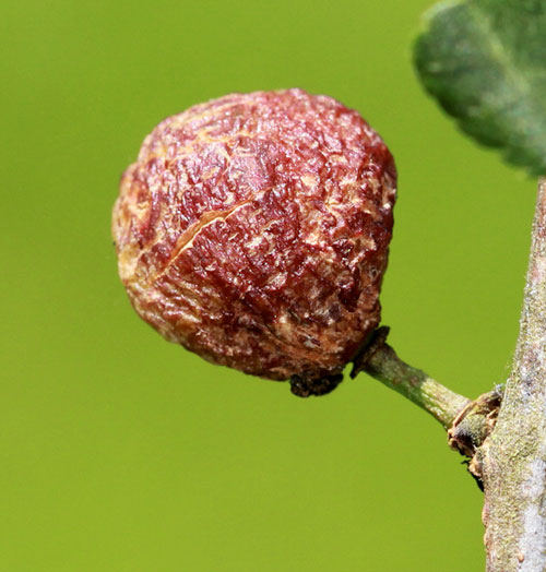 Taphrina pruni: galled fruit of Prunus spinosa