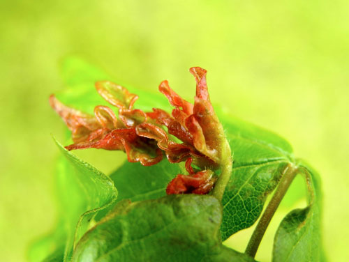 Dasineura rubella: gall on Acer campestre