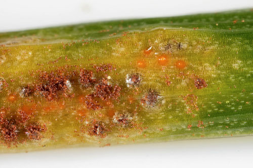 Puccinia liliacearum: spermogonia and telia