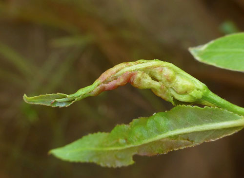 Rabdophaga terminalis: gall on Salix x fragilis