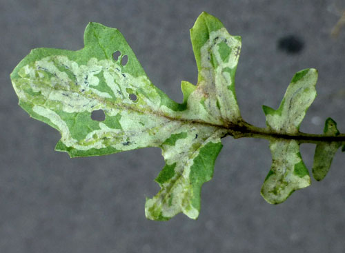 Liriomyza erucifolii: mine on Jacobaea vulgaris
