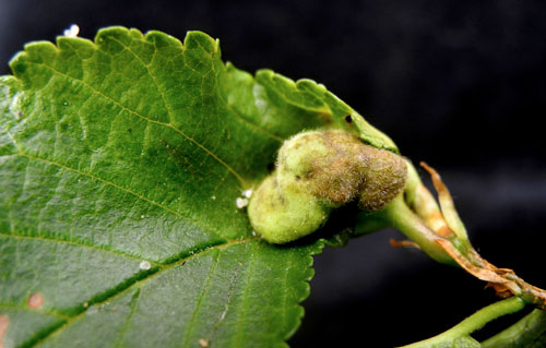 Kaltenbachiella pallida: gall on Ulmus, upperside