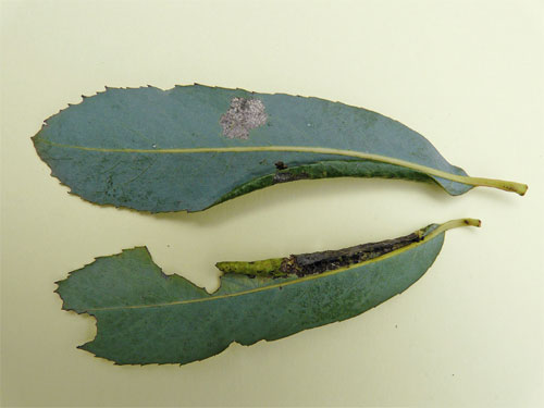 Euura polita: gall on Salix purpurea