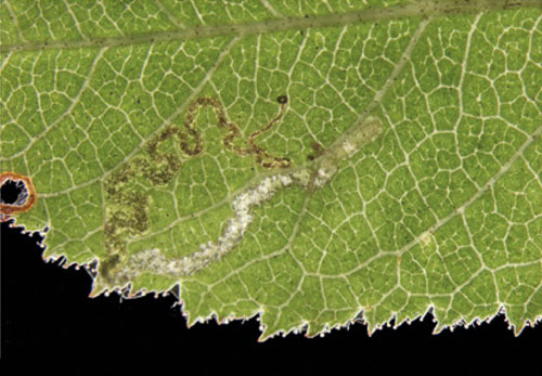Ectoedemia rosae: young mine on Rosa tomentosa