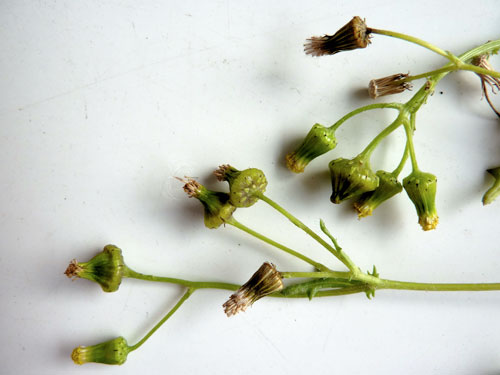 Sphenella marginata: galls on Senecio vulgaris