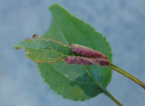 Dasineura mali: galls on Malus sylvestris