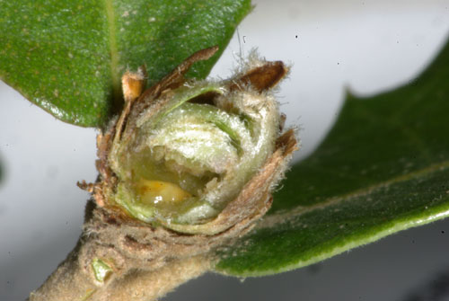 Phyllodiplosis cocciferae: gall on Quercus ilex