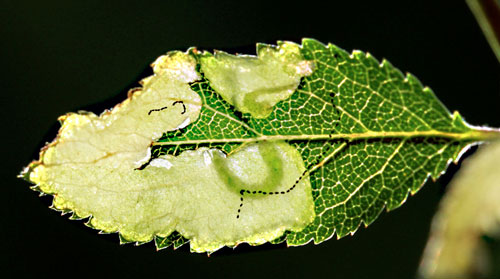Lyonetia prunifoliella: occupied mines on Prunus spinosa