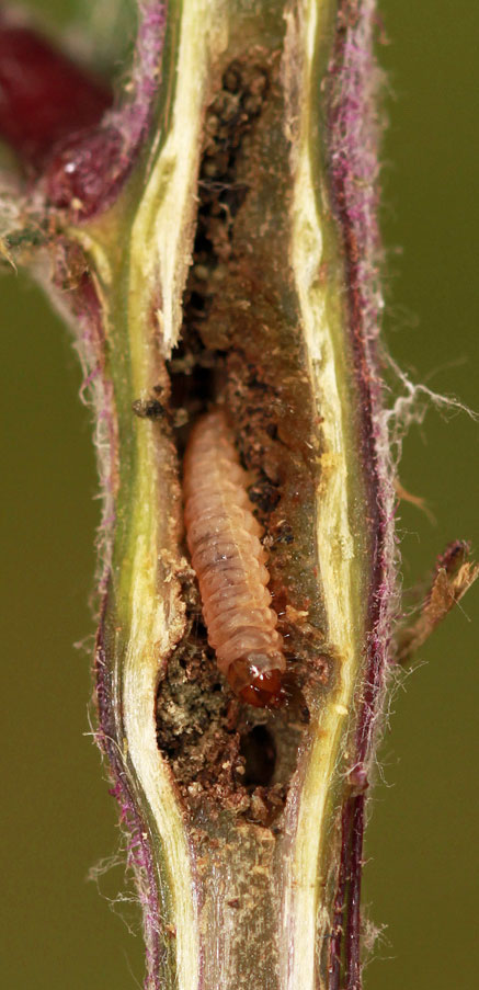 Cochylis atricapitana: larva in gall on Jacobaea vulgaris