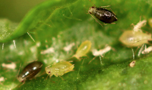 Aphis brunellae: apterae and ? males