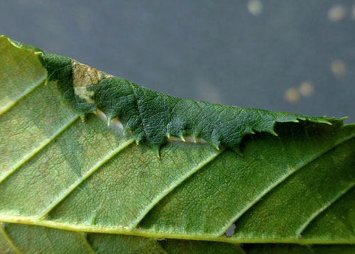 Parornix carpinella: leaf fold on Carpinus betulus