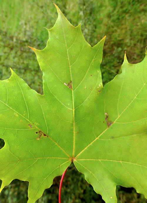 Bucculatrix thoracella: vacated mines on Acer platanoides