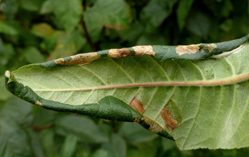 Parornix anglicella: leaf margin folds on Mespilus germanica