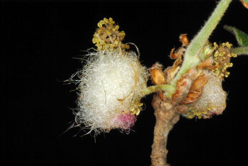 Andricus quercusramuli: anther gall on Quercus pubescens