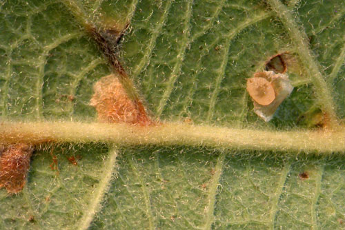 Tachyerges rufitarsis: young larva and mine