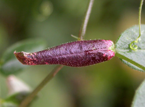 Phyllonorycter nigrescentella: mine on Vicia sepium
