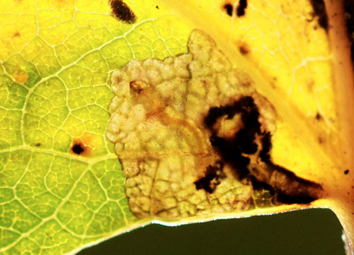 Ectoedemia turbidella: mine on Populus canescens