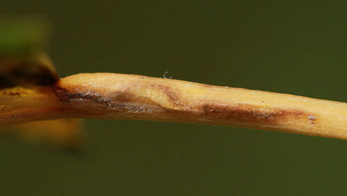 Ectoedemia turbidella: galled petiole on Populus canescens