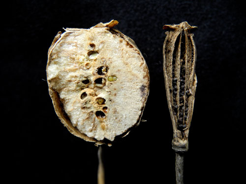 Aylax papaveris: galled and normal fruit of Papaver dubium