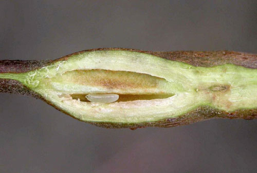 Hexomyza cecidogena or simplicoides: larva in gall on Salix cf cinerea
