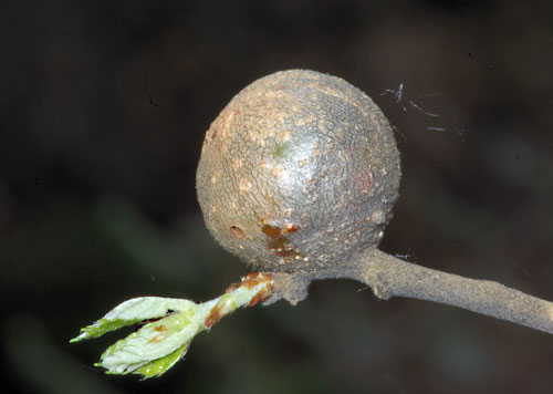 Synophrus hispanicus: gall on Quercus suber