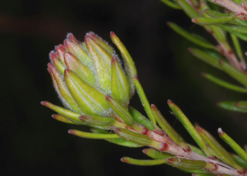 Dasineura ericaescopariae: gall on Erica scoparia
