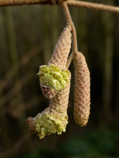 Contarinia coryli: galled catkin of Corylus avellana